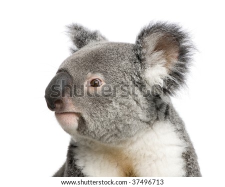 Portrait of male Koala bear, Phascolarctos cinereus, 3 years old, in front of white background, studio shot - stock photo