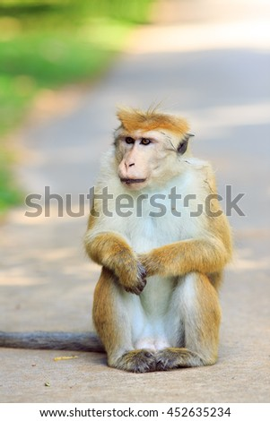 Portrait of male macaques in the island of Sri Lanka - stock photo