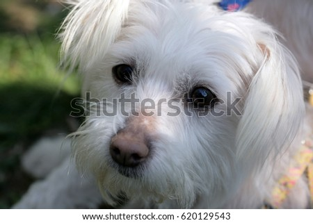 Portrait of  Maltese dog; selective focus.