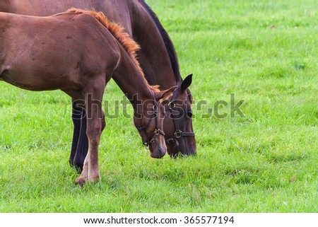 Portrait of mare with her colt on pastures of horse farms. - stock photo