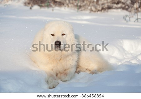 Portrait of Maremma or Abruzzese patrol dog on the snow in the garden on a sunny day, winter