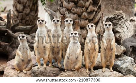 Portrait of meerkat family on the rock - stock photo