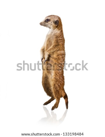 Portrait Of Meerkat Isolated On White Background - stock photo