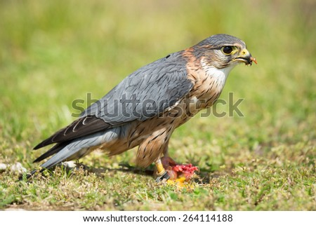 Portrait of merlin in feeding after performance (Falco columbarius) - stock photo