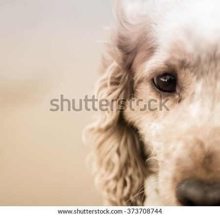 portrait of middle face of a cocker spaniel. Focus on the eye. - stock photo