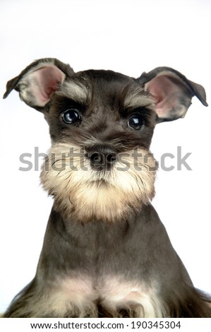 Portrait of miniature Schnauzer puppy