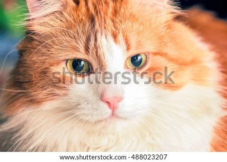 Portrait of nice adult red cat with yellow eyes