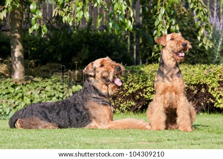 Portrait of nice airedale terrier - stock photo