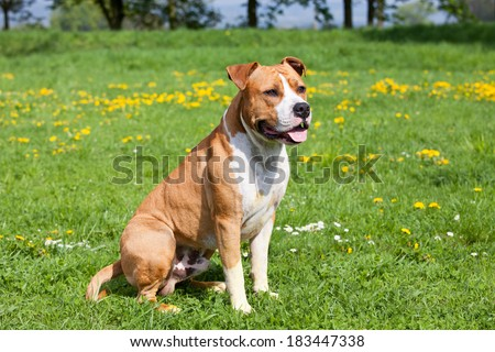 Portrait of nice american staffordshire terrier - stock photo