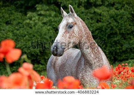 Portrait of nice arabian horse in red poppy field - stock photo