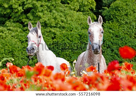 Portrait of nice arabian horses in red poppy field