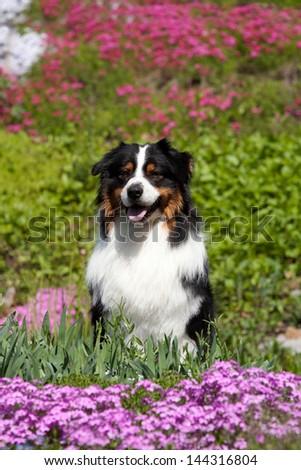 Portrait of nice Australian Shepherd in blooming rock garden - stock photo