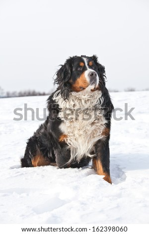 Portrait of nice bernese mountain dog - stock photo