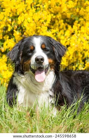 Portrait of nice bernese mountain dog  - stock photo