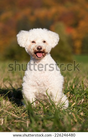 Portrait of nice bichon - stock photo