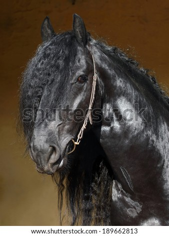 Portrait of nice black friesian horse on stable background