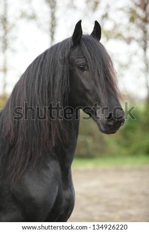 Portrait of nice black friesian stallion in autumn - stock photo