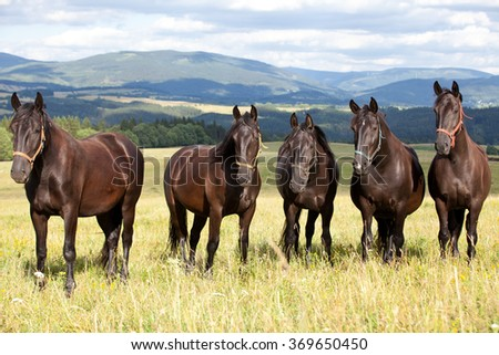 Portrait of nice black kladrubian horses - stock photo