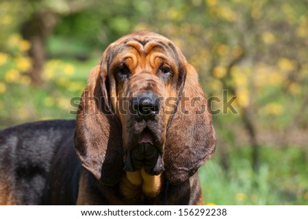 Portrait of nice bloodhound - stock photo
