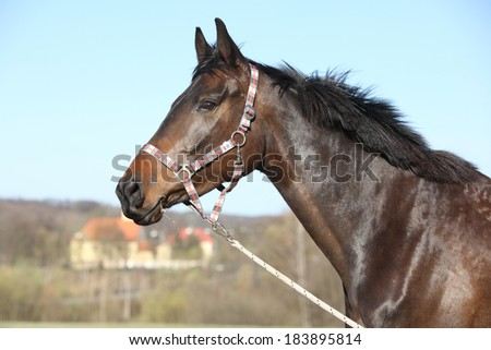 Portrait of nice brown horse with halter in nature