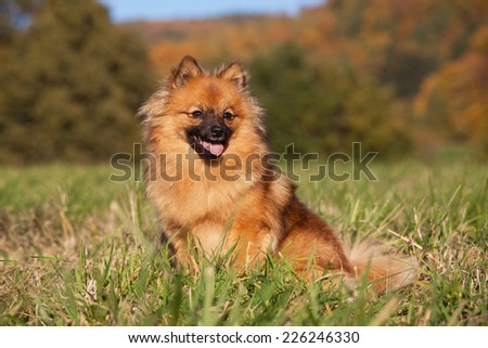 Portrait of nice brown spitz - stock photo