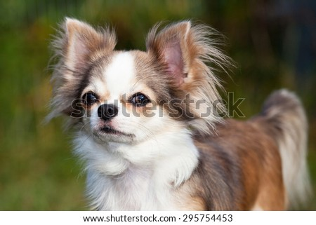 Portrait of nice chihuahua dog