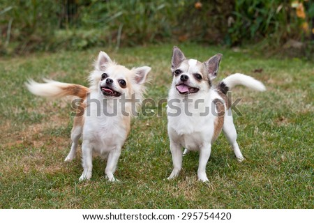 Portrait of nice chihuahua dogs