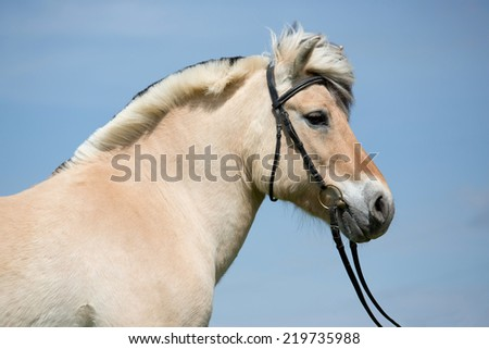 Portrait of nice fjord pony