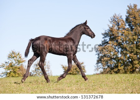 Portrait of nice foal - friesian horse