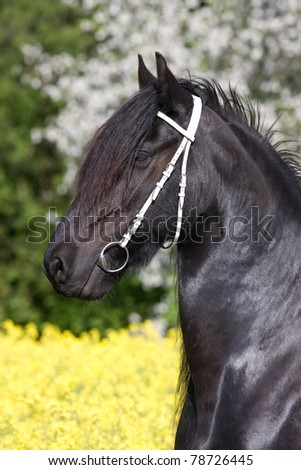 Portrait of nice friesian horse