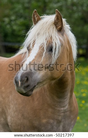 Portrait of nice haflinger pony - stock photo