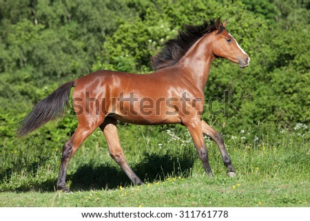 Portrait of nice hot-blooded foal running - stock photo