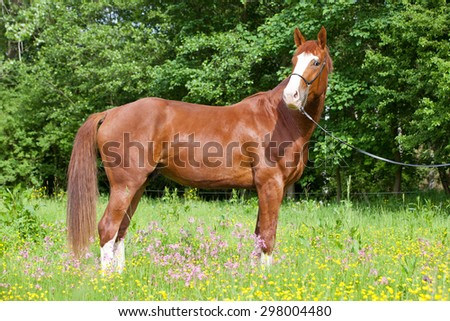 Portrait of  nice hot-blooded horse on meadow - stock photo