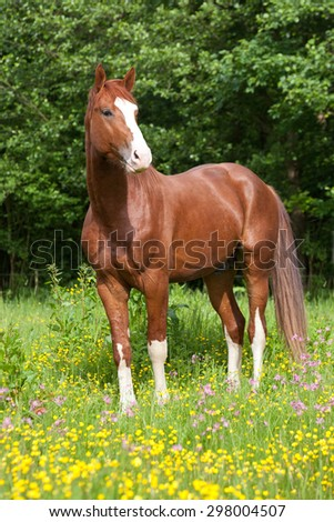 Portrait of  nice hot-blooded horse on meadow