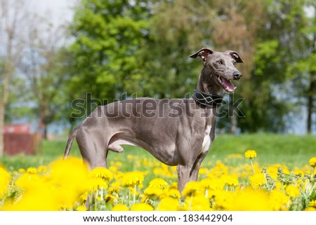 Portrait of nice italian greyhound - stock photo