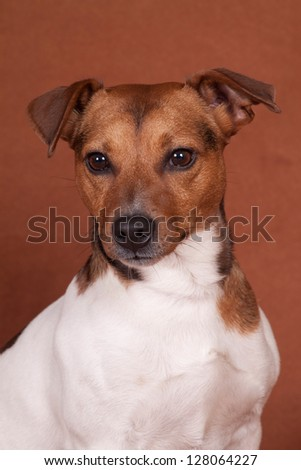 Portrait of nice Jack Russell Terrier sitting on a brown background