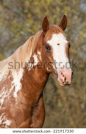Portrait of nice paint horse - stock photo