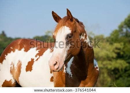 Portrait of nice paint horse - stock photo