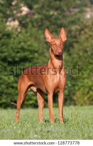 Portrait of nice Pharaoh Hound - stock photo