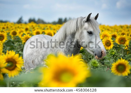 Portrait of nice pony in a field of sunflowers - stock photo