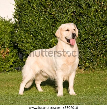 Portrait of nice posing golden retriever - stock photo