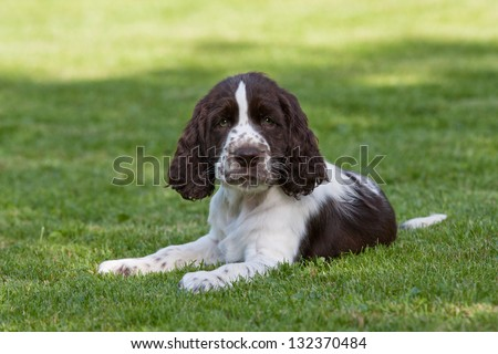 Portrait of nice puppy - english springer spaniel