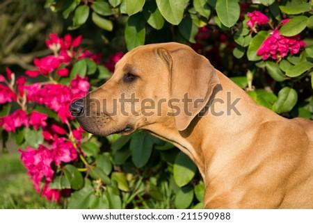 Portrait of nice rhodesian ridgeback  - stock photo