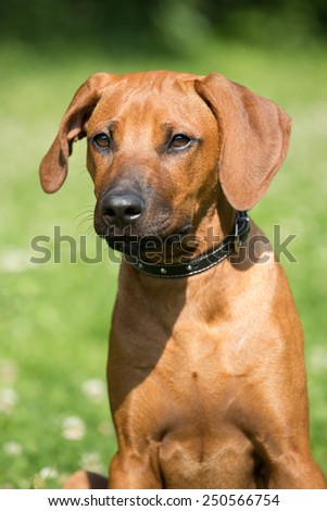 Portrait of nice rhodesian ridgeback puppy - stock photo