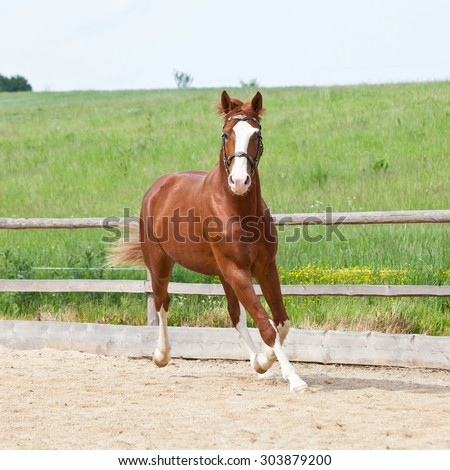 Portrait of nice running hot-blooded horse - stock photo