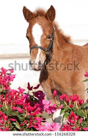 Portrait of nice shetland pony foal in rhododendron  - stock photo