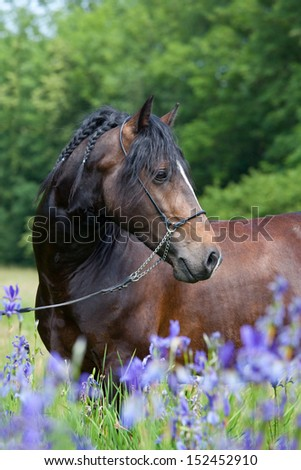 Portrait of nice welsh pony in blooming meadow - stock photo