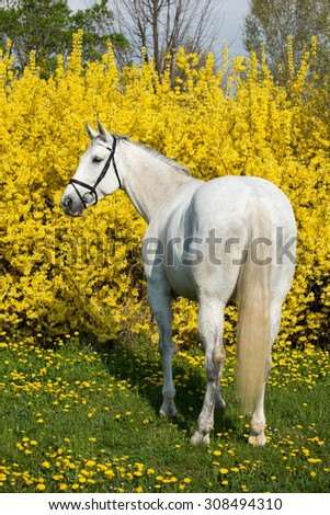 Portrait of nice white horse on a yellow background - stock photo