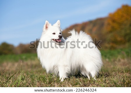 Portrait of nice white spitz - stock photo