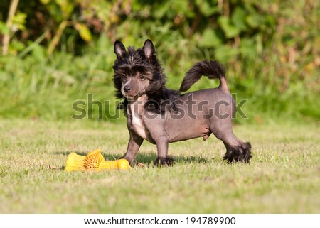 Portrait of nice young chinese crested dog - stock photo